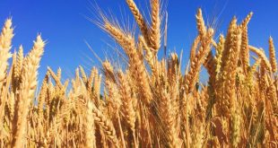 Why Farmers Are Decreasing From Farming Wheat Despite Demand