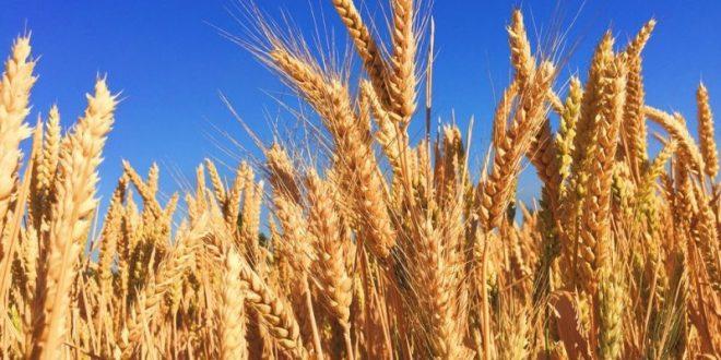 Why Farmers Are Decreasing From Farming Wheat Despite Demand