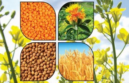 Rabi crops sown 9.84 percent more than last year